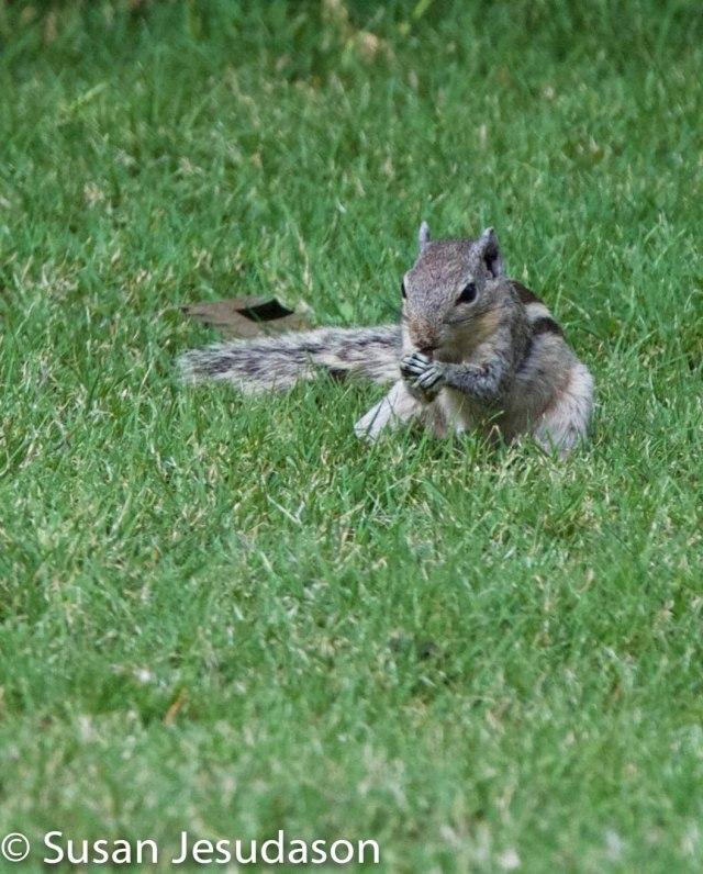 This Palm squirrel seemed to take confidence from all the birds in the garden and happily sat in the grass despite the presence of Charleston and me.